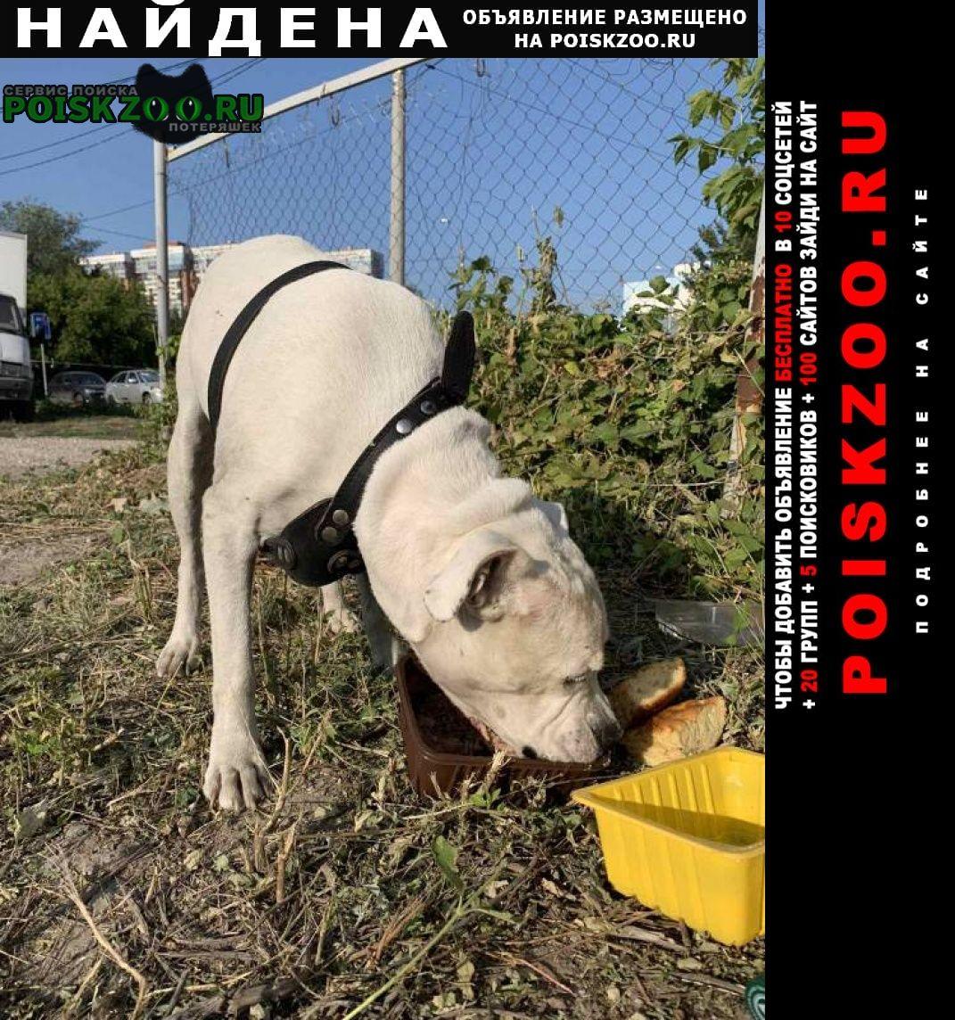 Найдена собака кобель бульдог белого цвета Самара