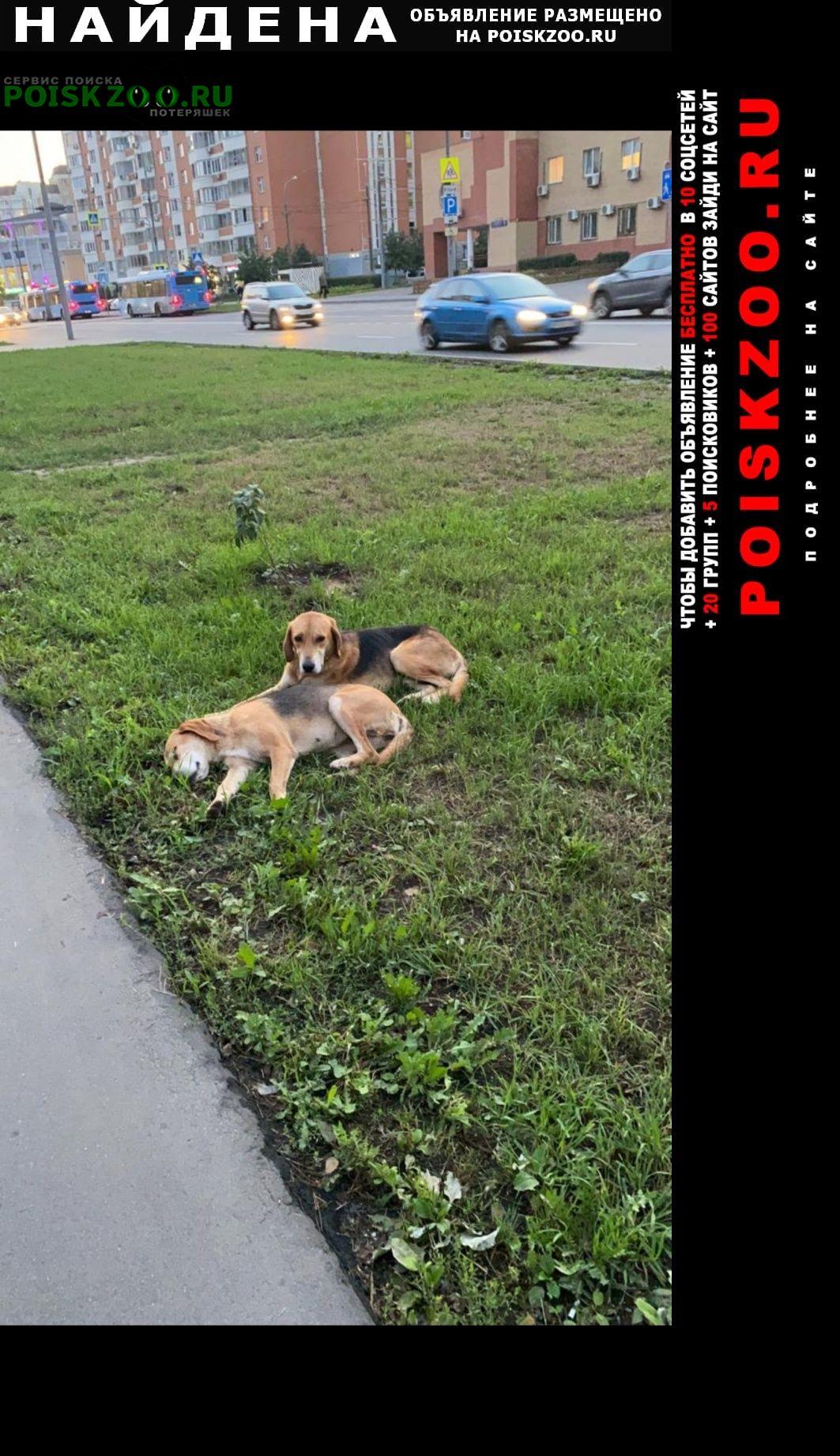 Найдена собака кобель 2 русские гончии мальчик и девочка Москва