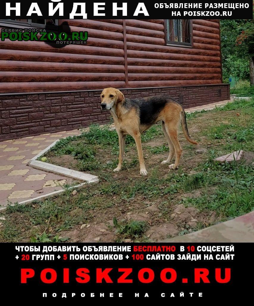Найдена собака русской гончей Серпухов