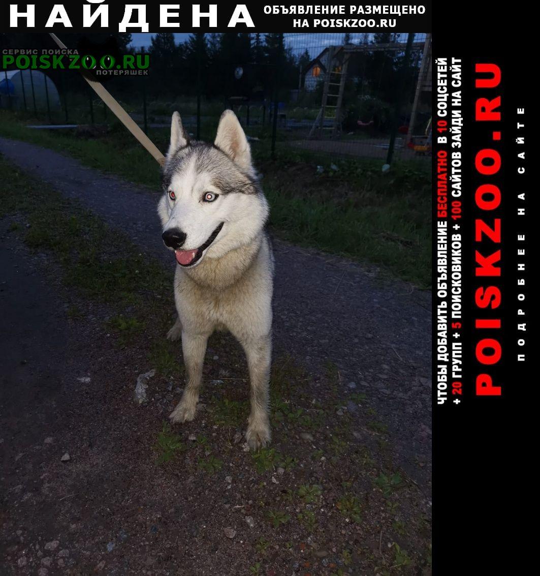 Найдена собака кобель хаски. Всеволожск