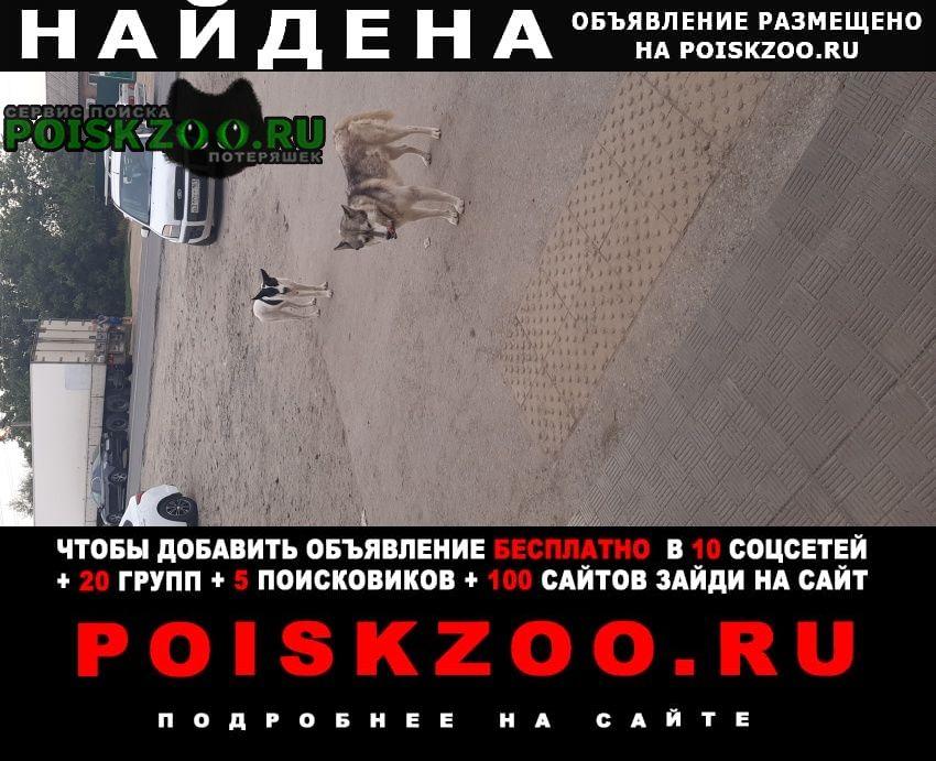 Найдена собака кобель хаски, кабель, ошейник т.коричневый. Ростов-на-Дону