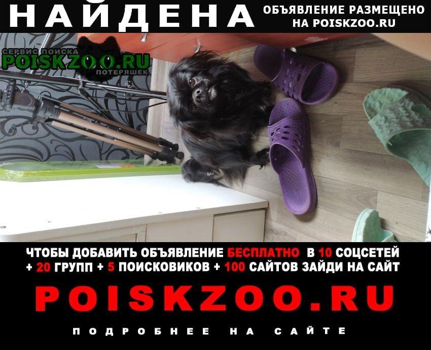 Найдена собака кобель пекинес Новосибирск