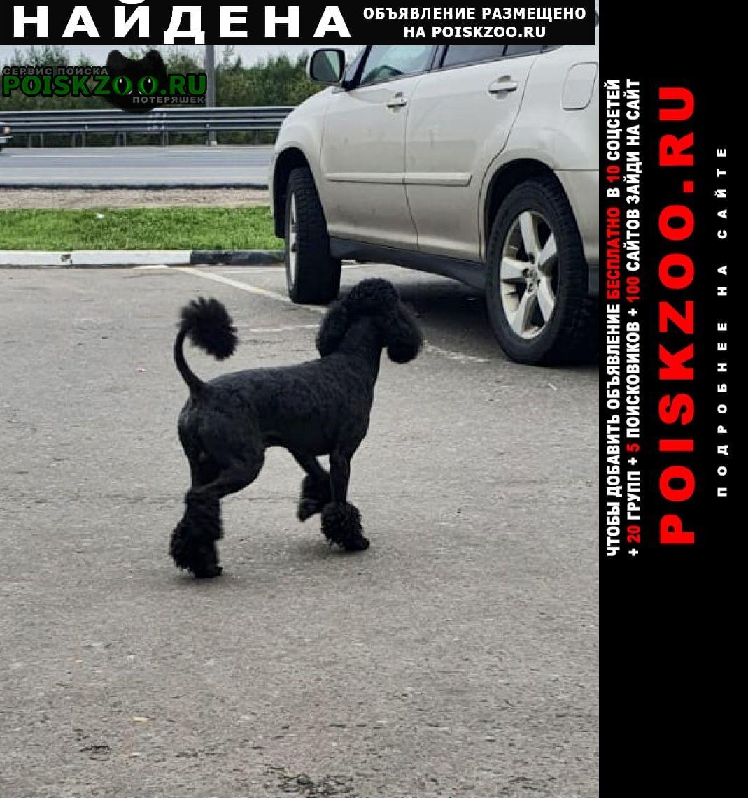Найдена собака черный малый пудель Подольск