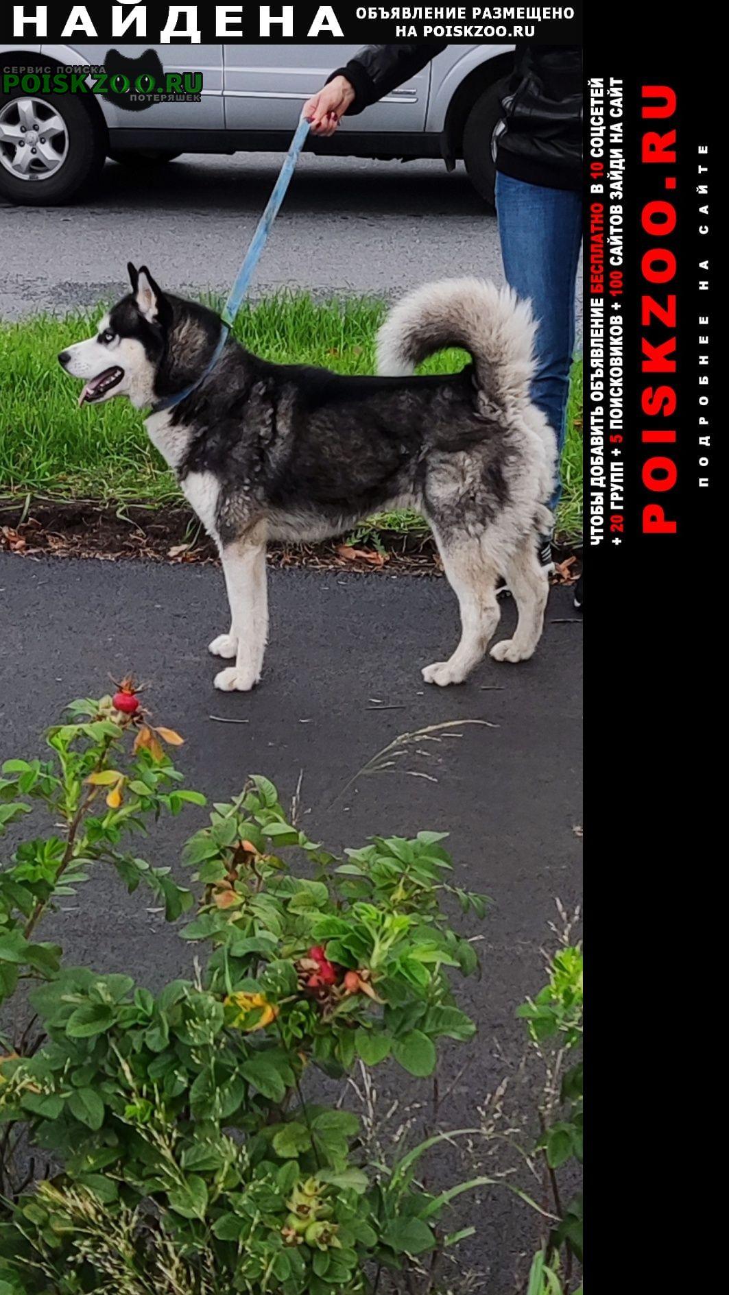 Найдена собака кобель, хаски Санкт-Петербург