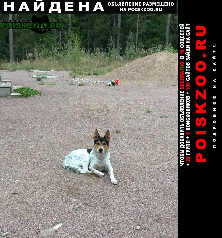 Найдена собака кобель в п. большое поле Выборг