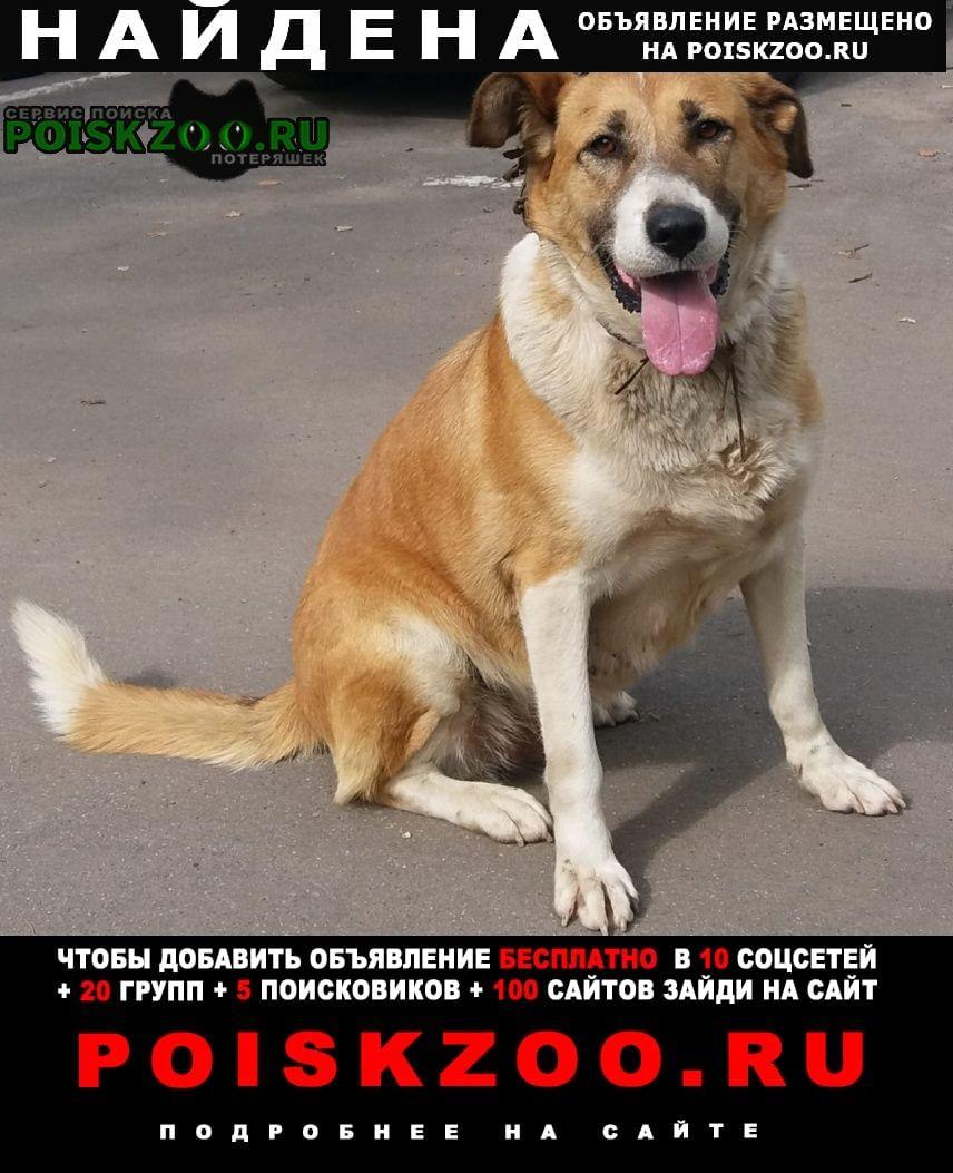 Найдена собака рыже-белая девочка в коричневом ошейнике Москва