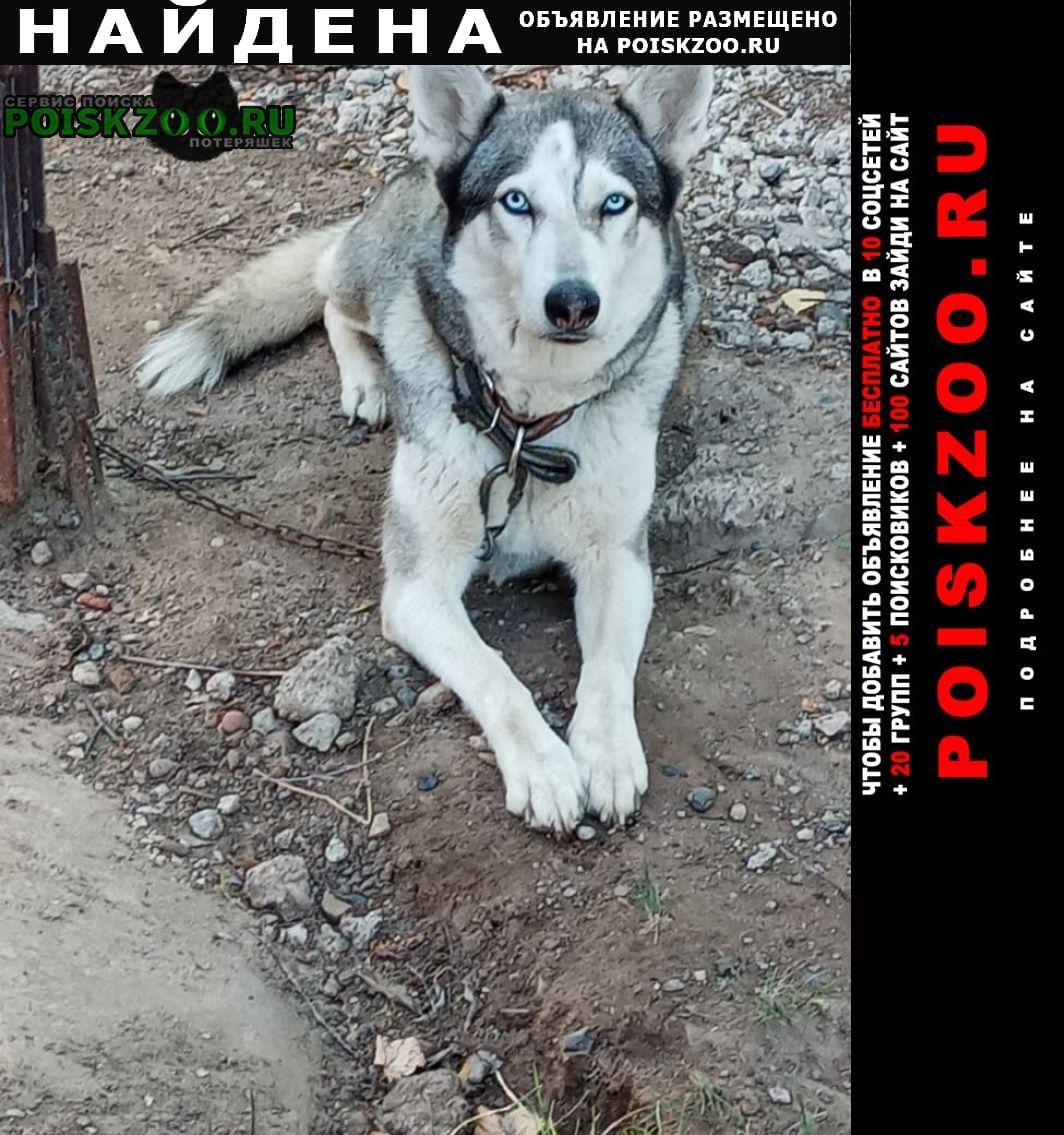 Найдена собака молодой хаски в голубом ошейнике Зеленодольск