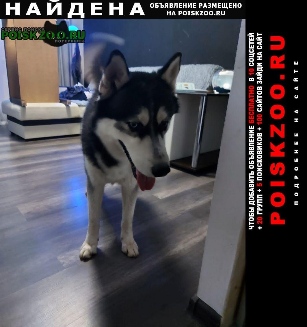 Найдена собака кобель хаски с разными глазами Краснодар