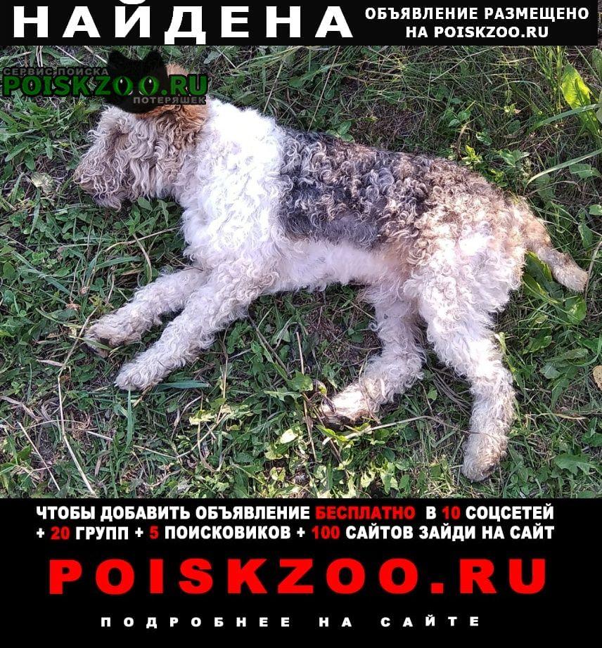 Найдена собака кобель фокстерьер Томск