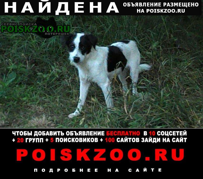 Найдена собака бело-черная, помесь джек-рассел терьер Хотьково