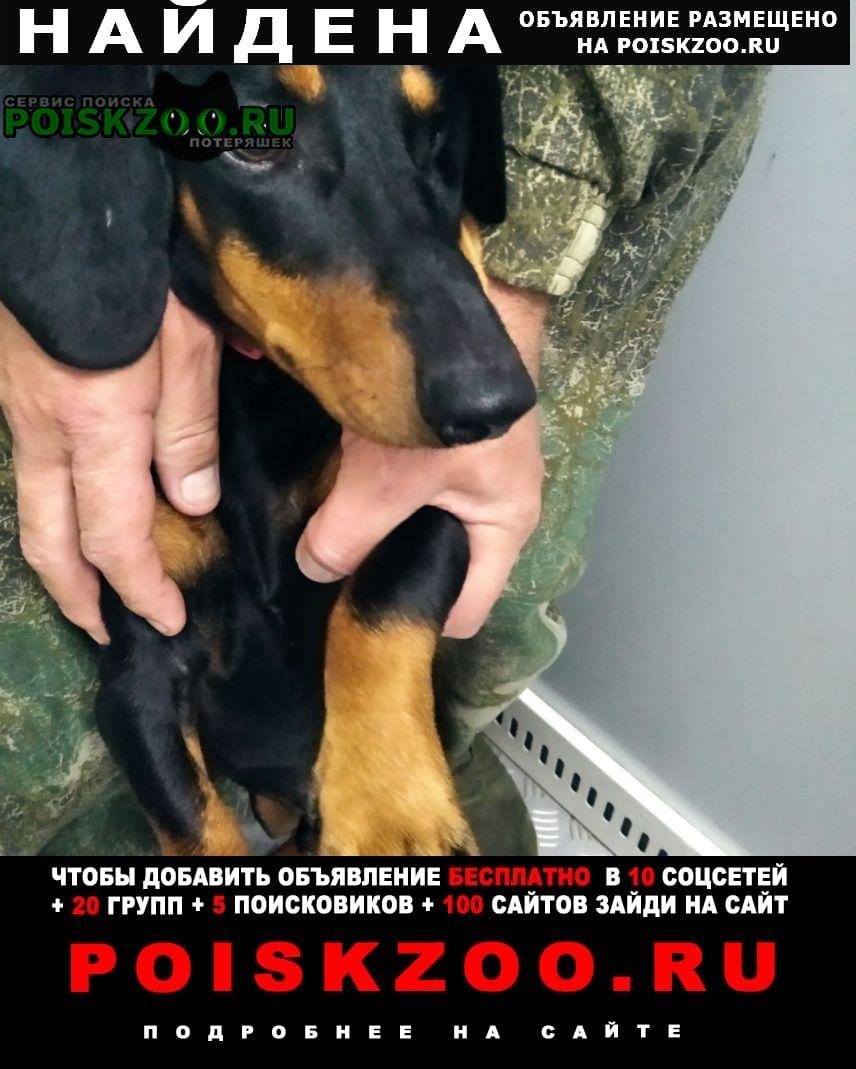 Найдена собака кобель молодой таксы Хабаровск