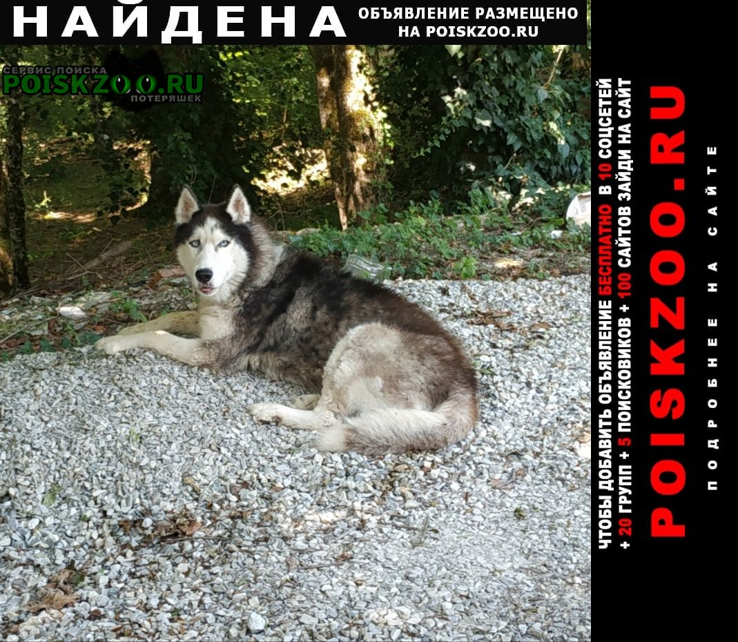 Найдена собака кобель хаски Геленджик