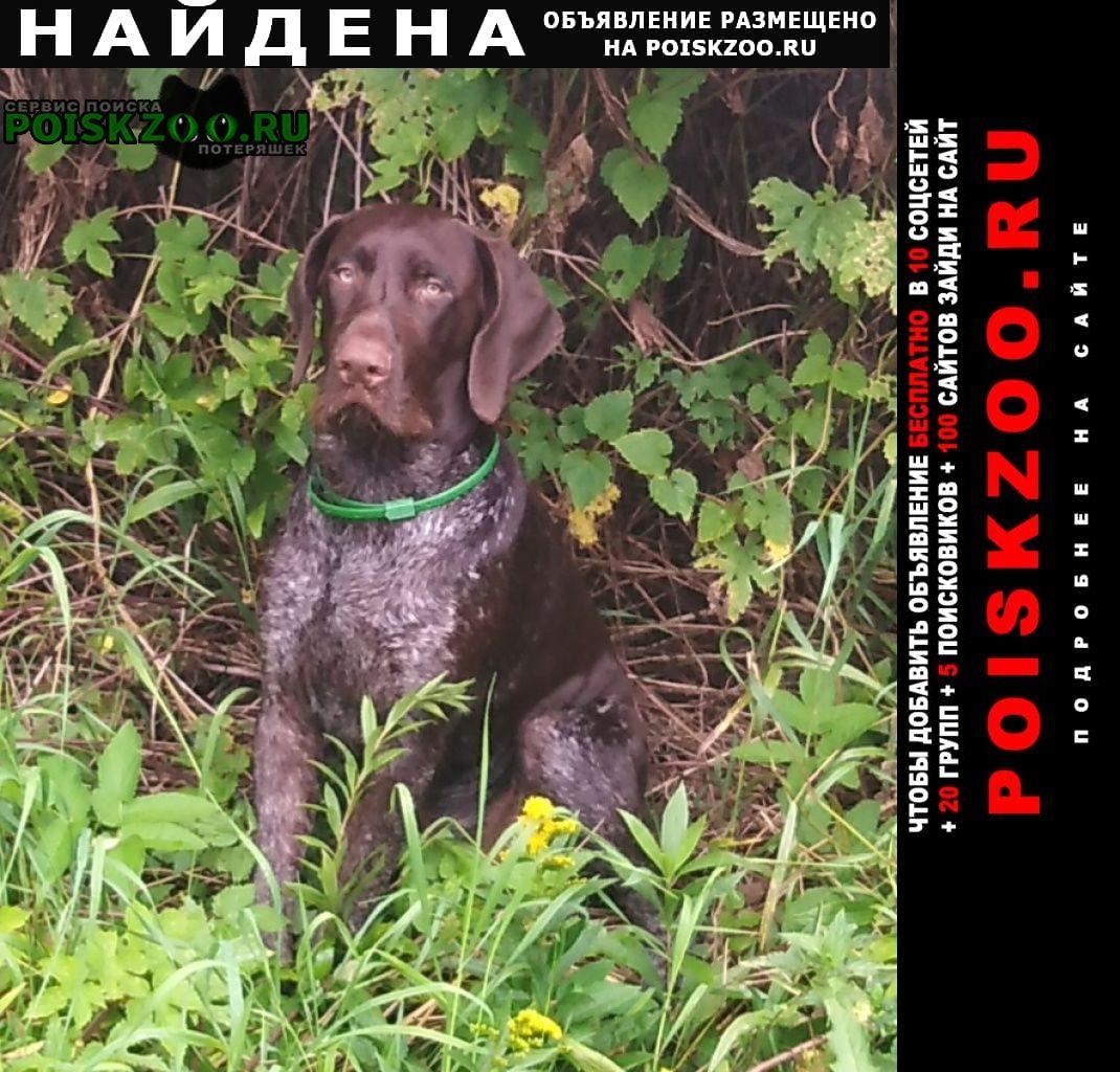 Найдена собака кобель породы курцхаар Волоколамск