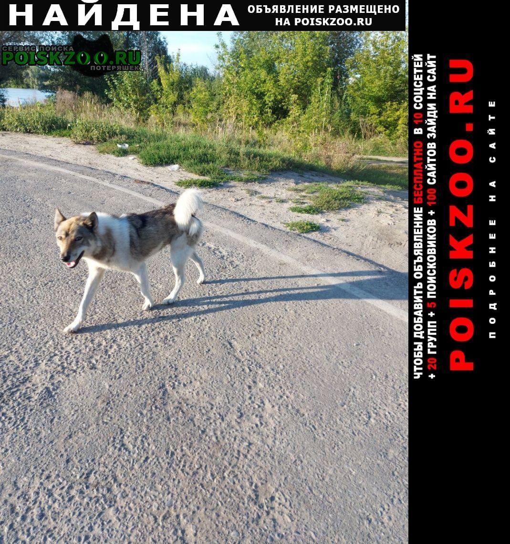 Найдена собака западносибирская лайка Пенза