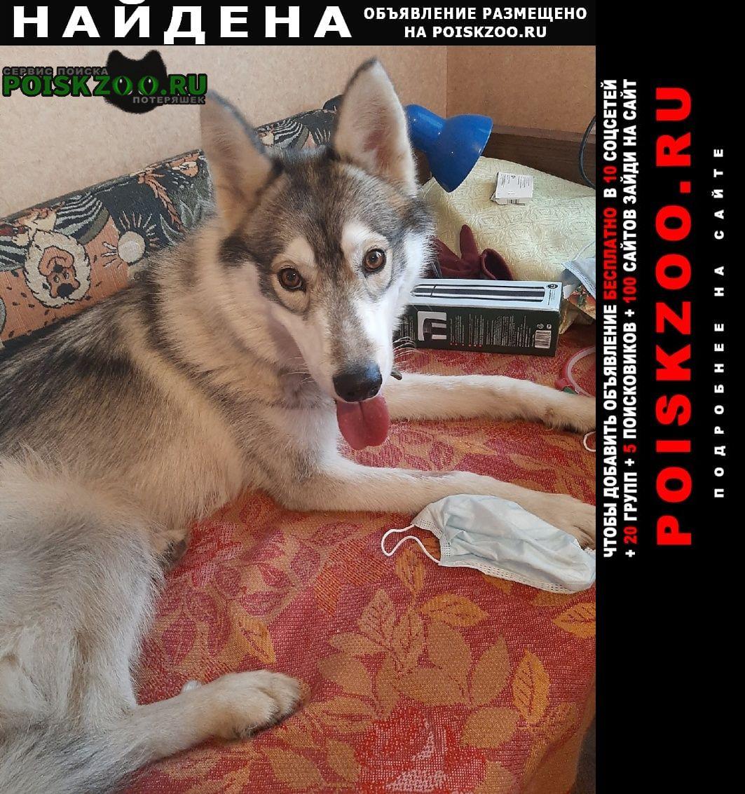 Найдена собака черно-белая лайка Москва