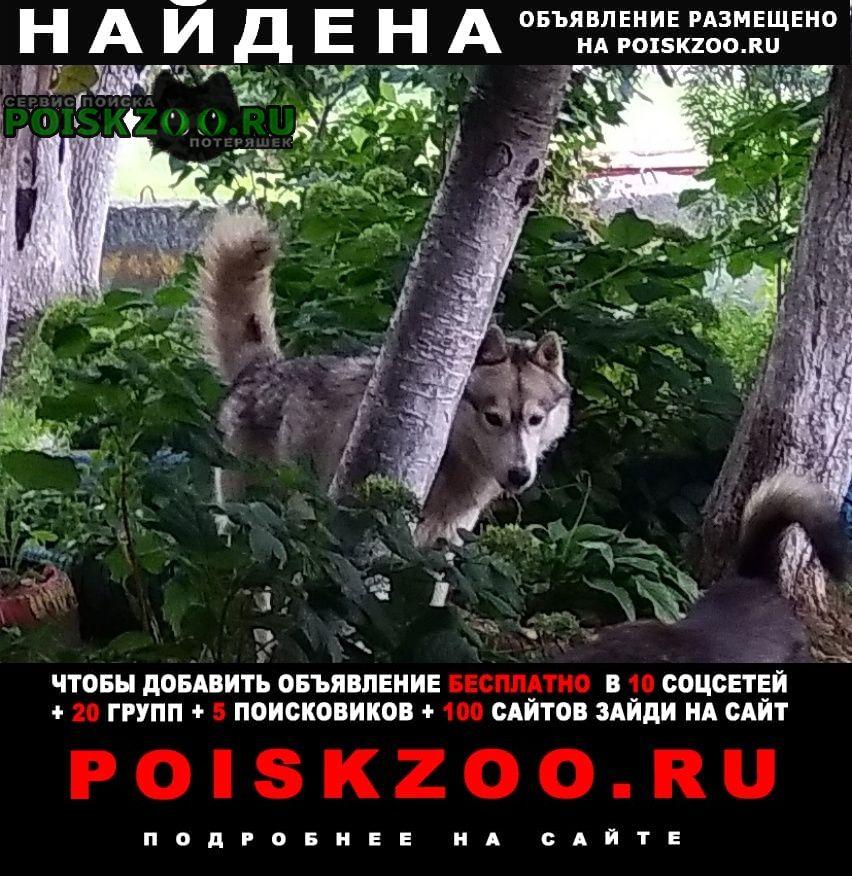 Найдена собака хаски. Нижний Новгород
