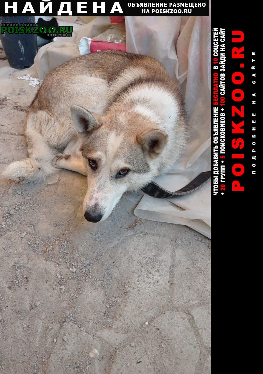 Найдена собака кобель лайка Клин
