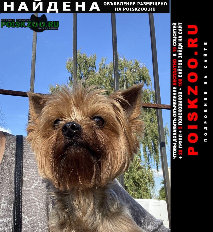 Найдена собака йорк Калининград (Кенигсберг)