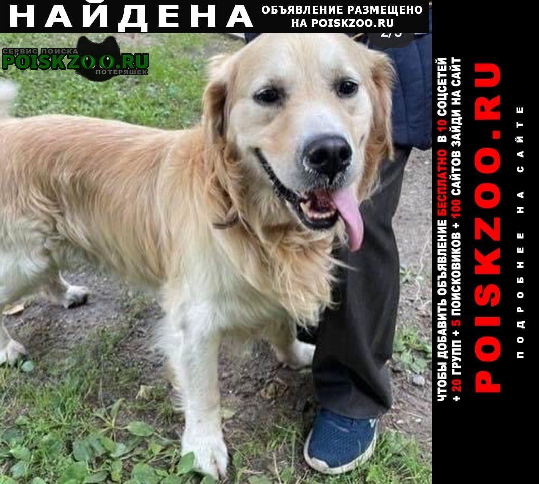 Найдена собака кобель золотистый ретривер Москва