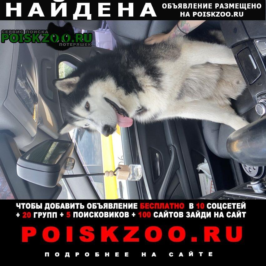 Найдена собака кобель сибирский хаски дачи ворсино Балабаново