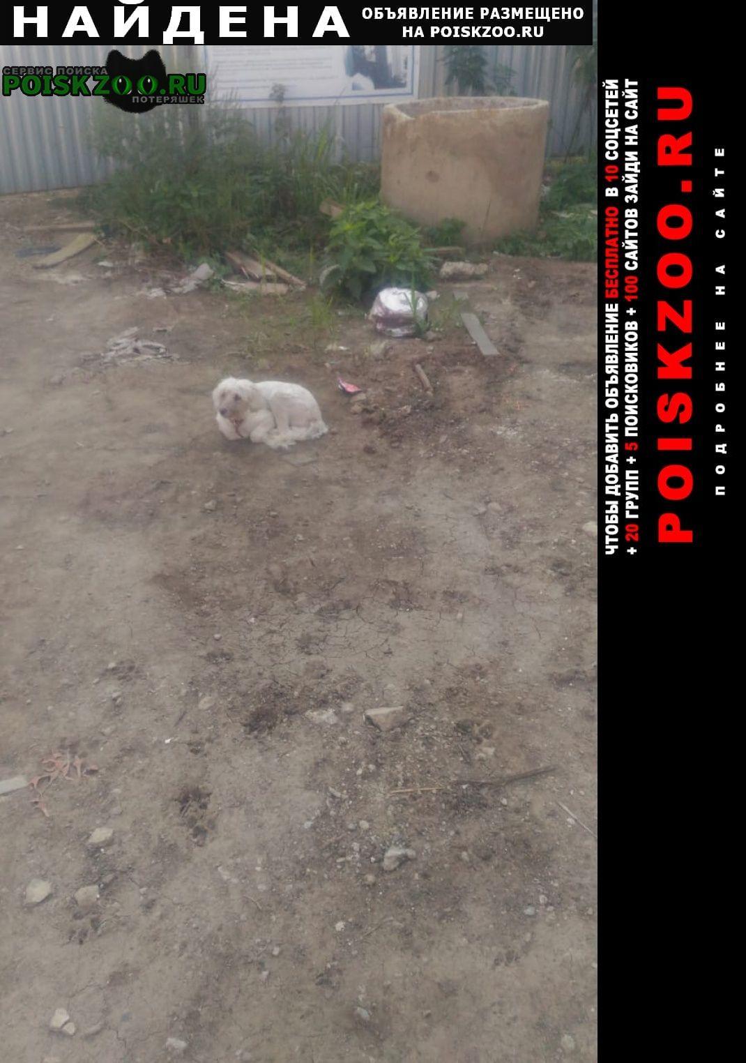 Найдена собака пудель девочка молодая Краснодар