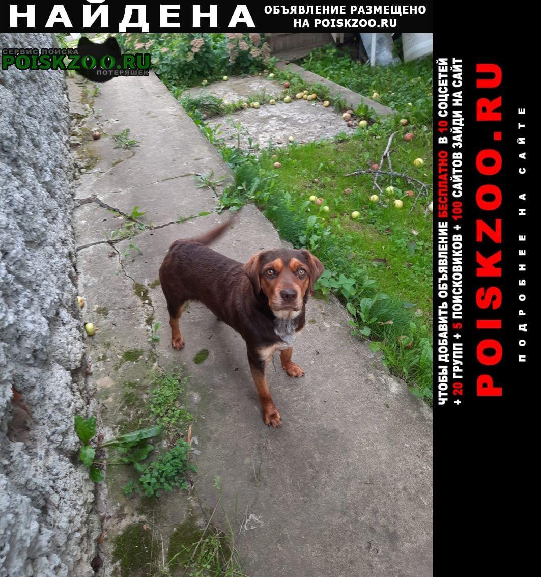 Найдена собака метис бигля Чехов