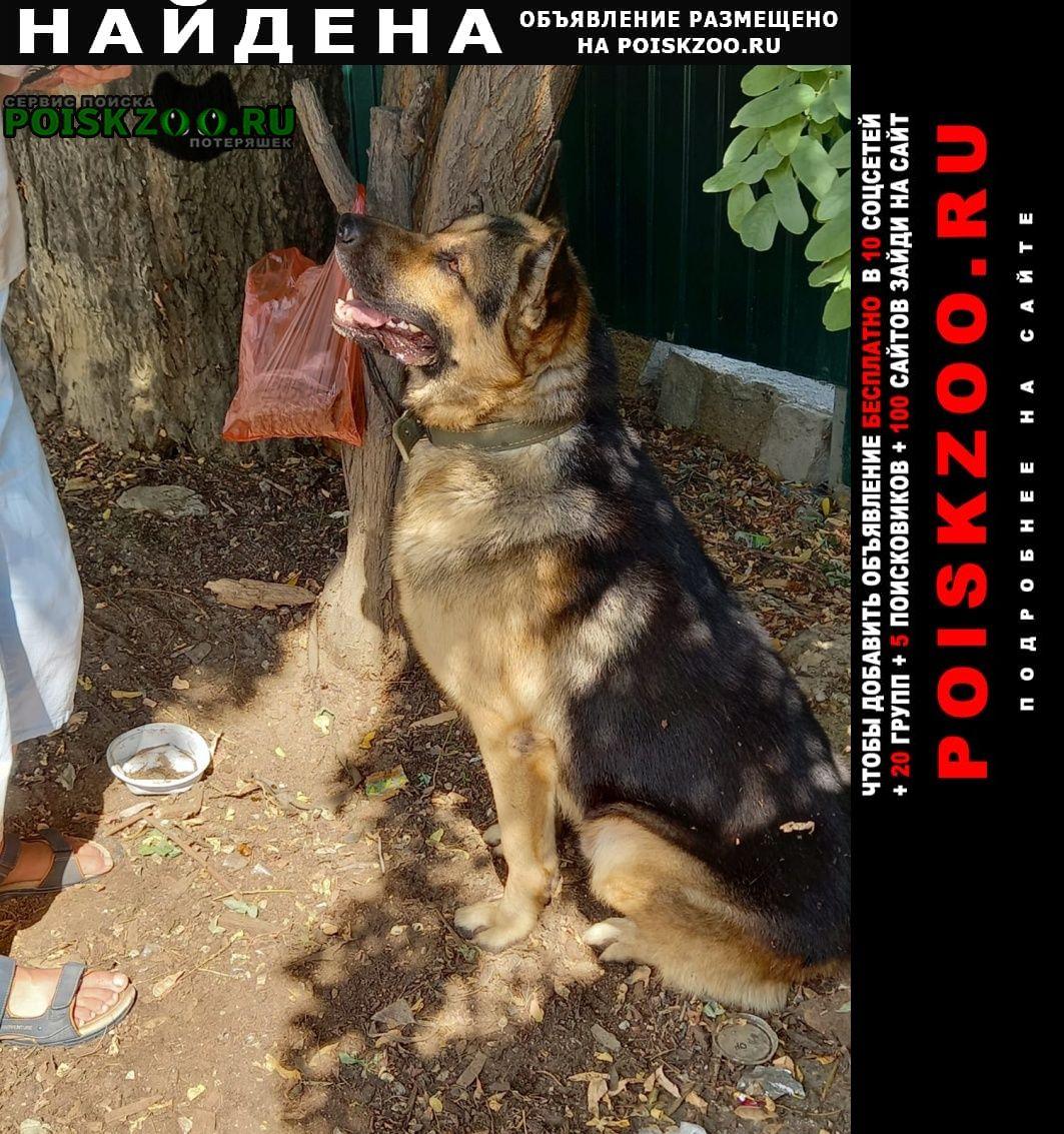Найдена собака овчарка с поводком Судак