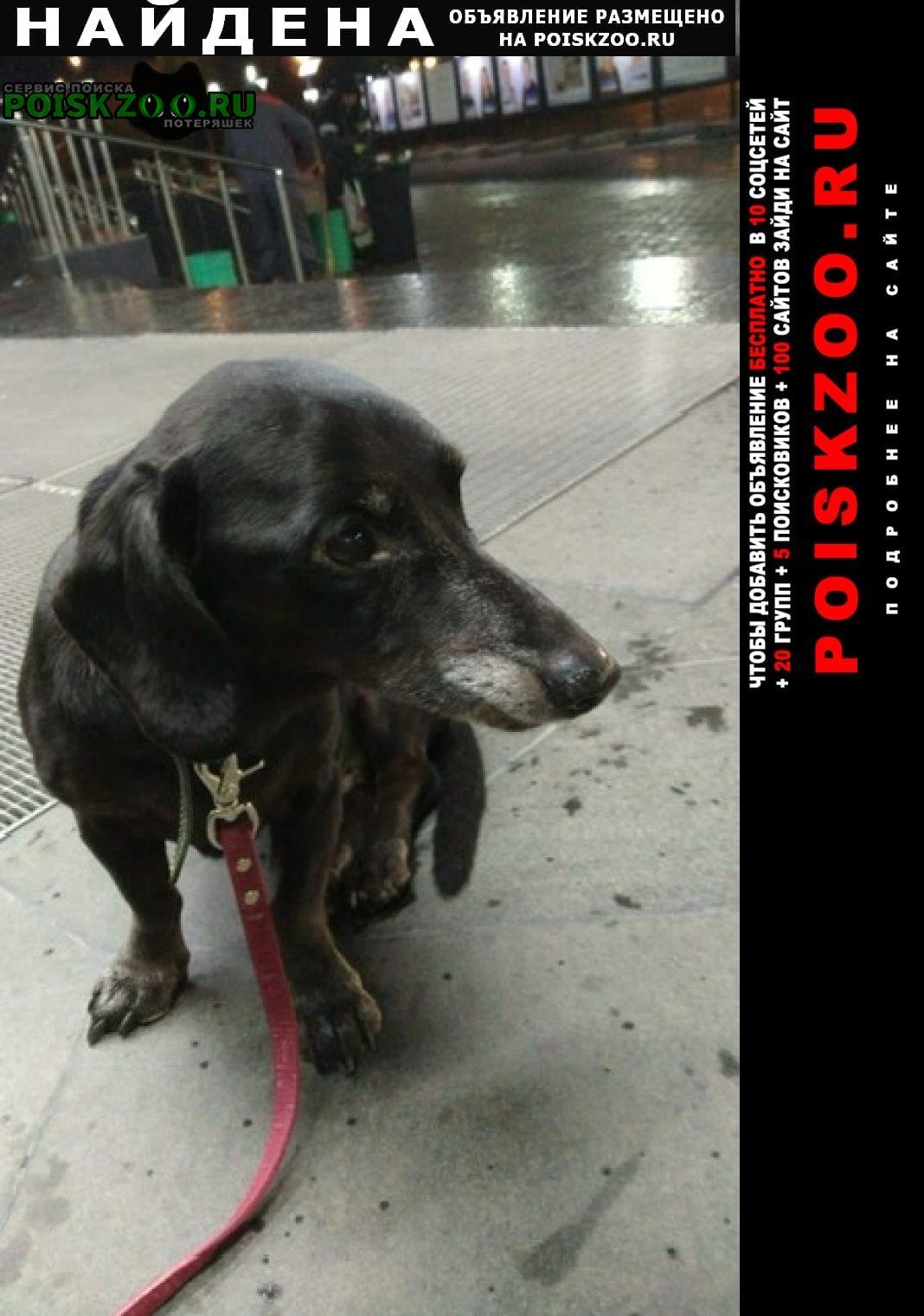 Найдена собака кобель такса Электросталь