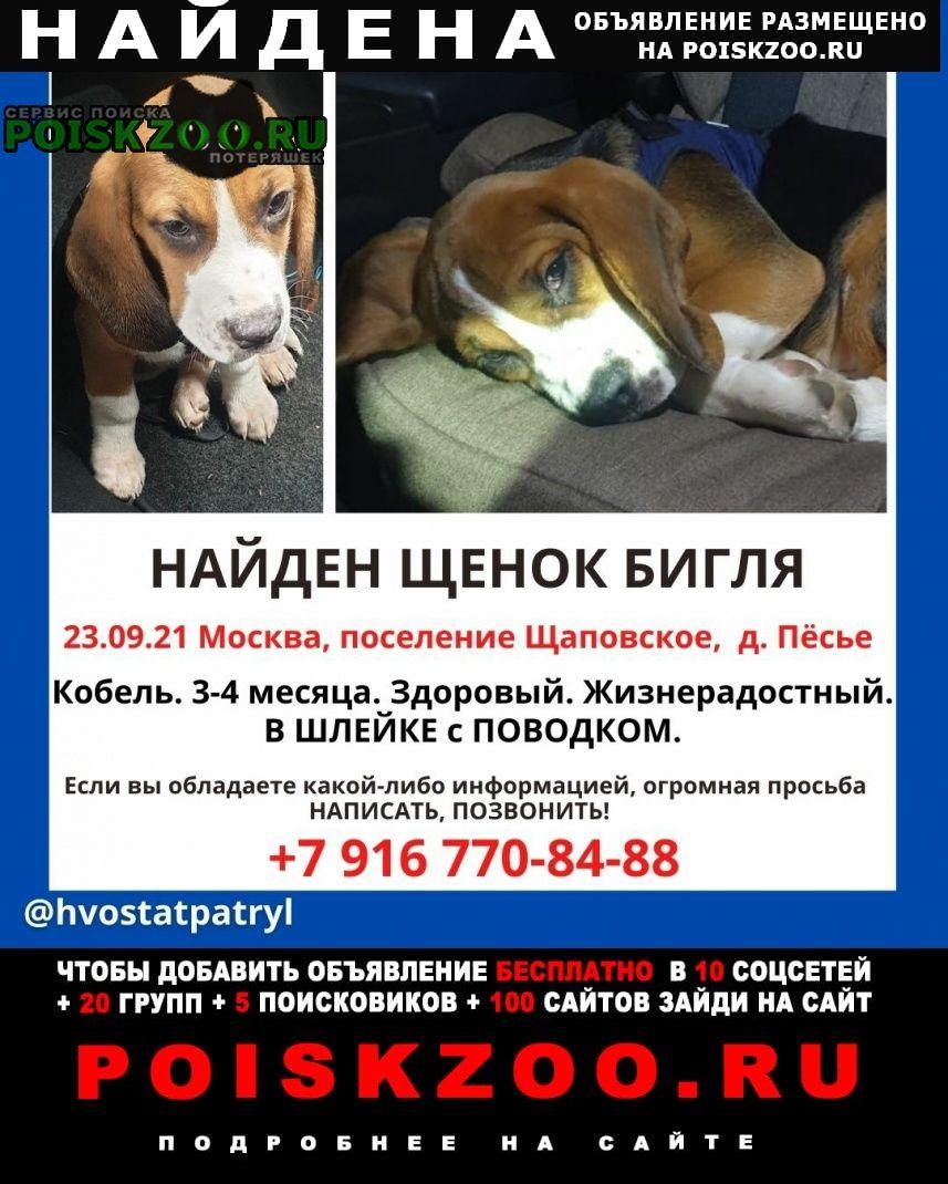 Найдена собака щенок бигля Москва
