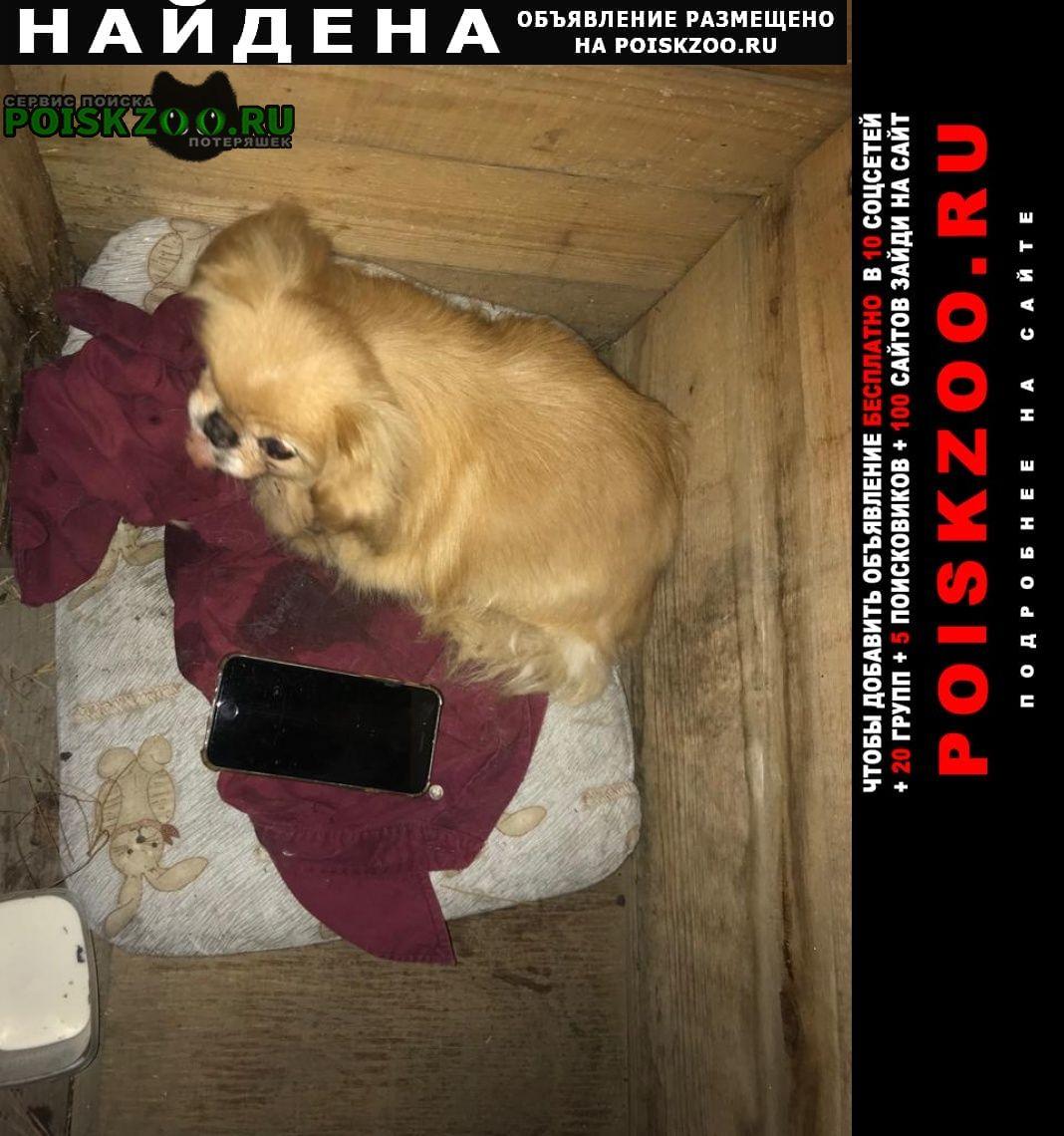 Найдена собака похожа на пекинеса Новосибирск