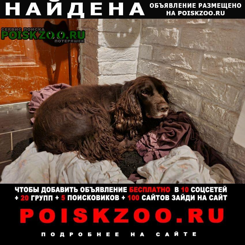 Найдена собака кобель коричневого спаниеля Москва
