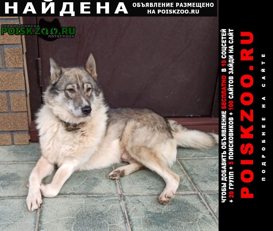 Найдена собака кобель западно-сибирской лайки. Красногорск