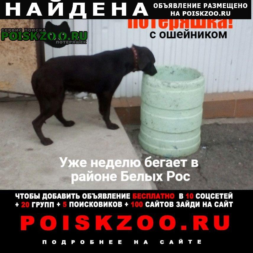 Найдена собака коричневый лабрадор (наверное) Красноярск