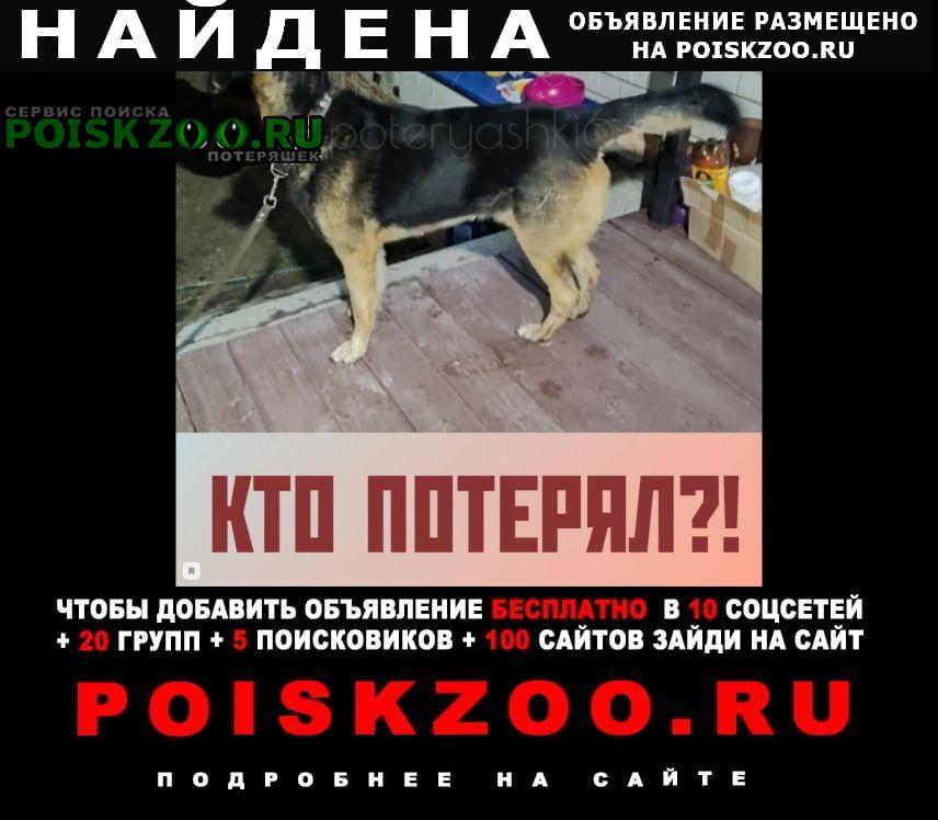 Найдена собака кобель немецкая овчарка заводской р н кумысная Саратов