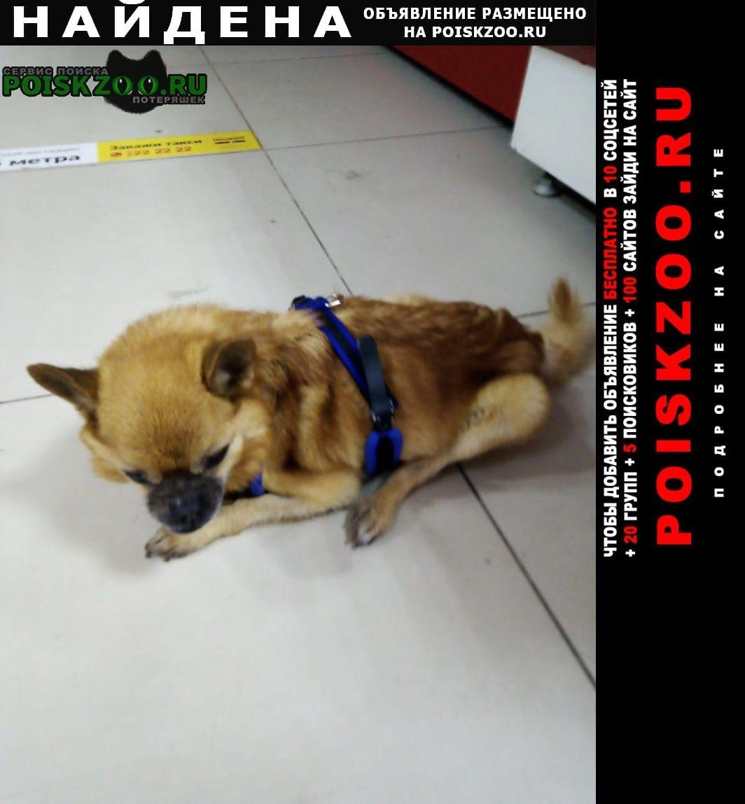 Найдена собака кобель рыжий чихуахуа в синей шлейке Новороссийск