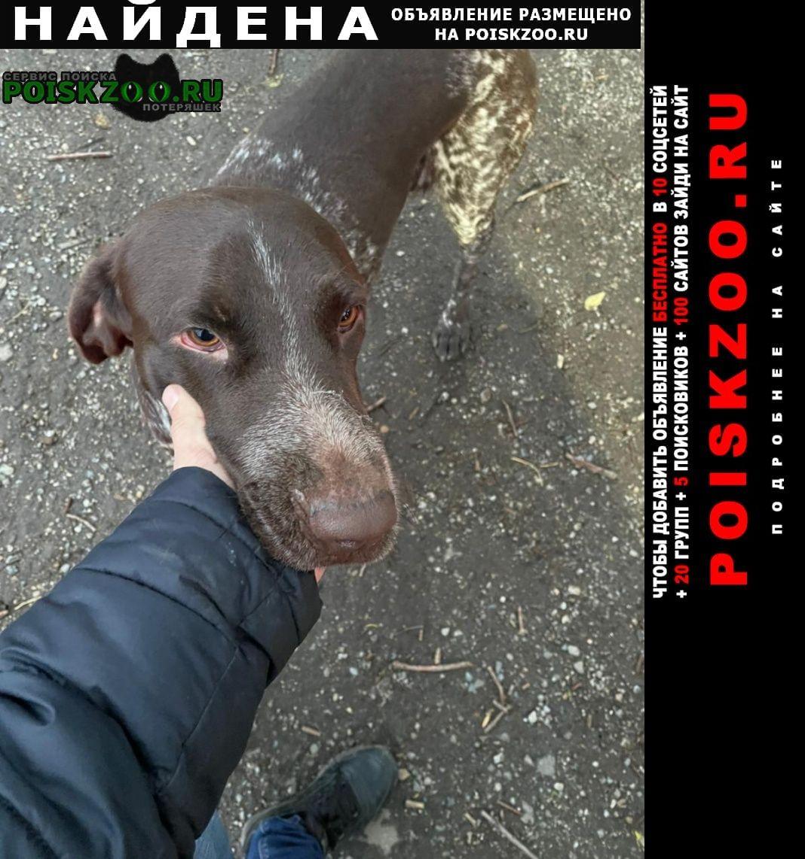 Найдена собака кобель кабель курцхар Краснодар