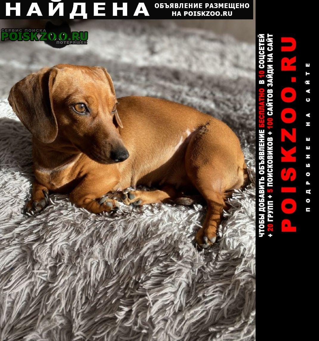 Найдена собака такса рыжая, девочка Самара