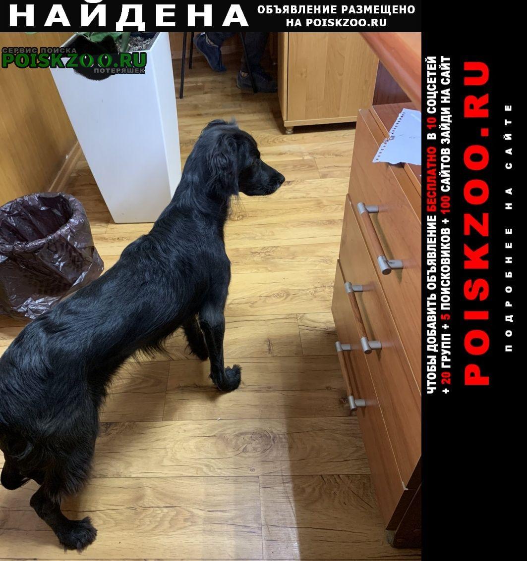 Найдена собака спаниель. девочка. Самара