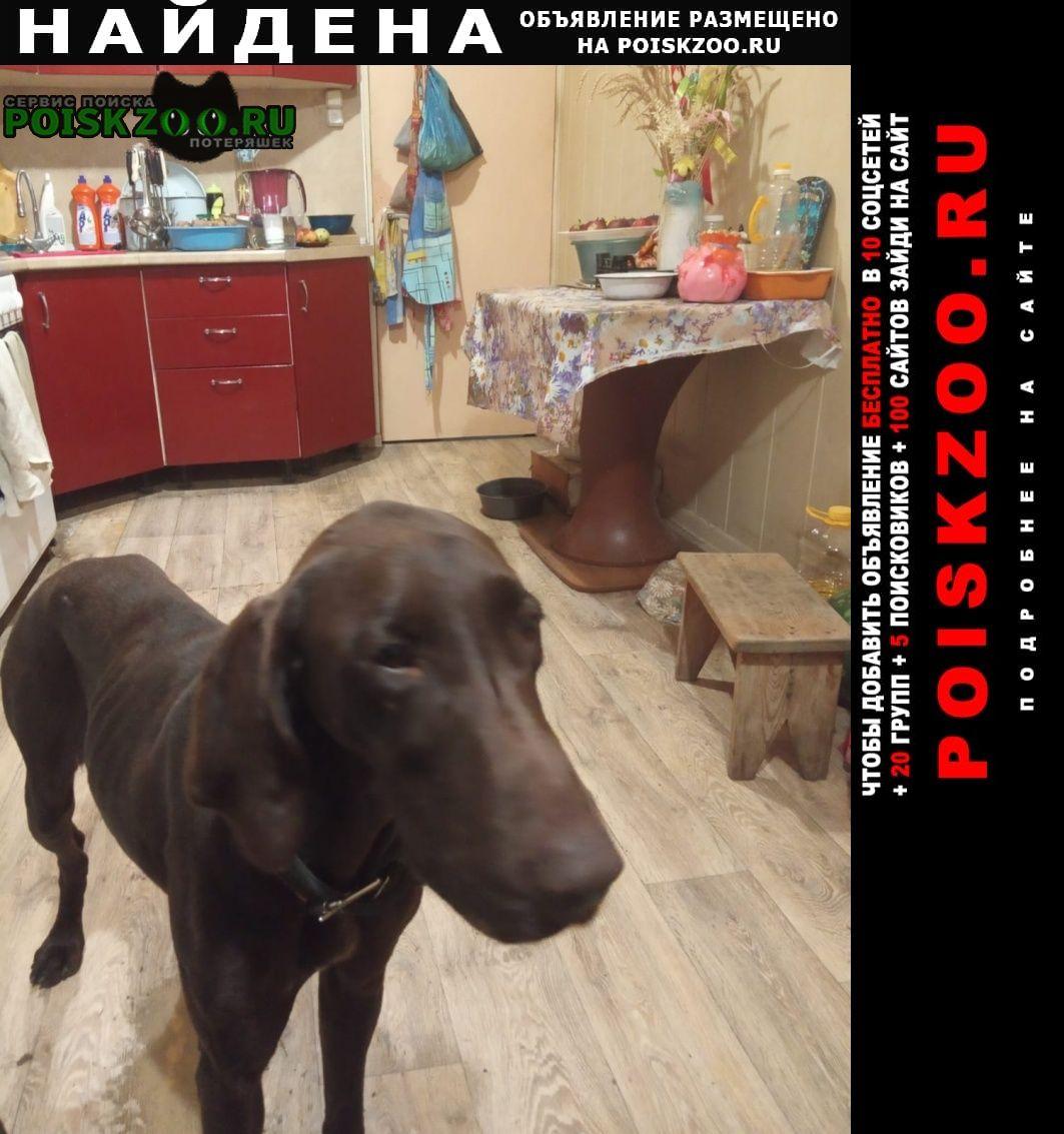 Найдена собака курцхаар, молодая Ставрополь