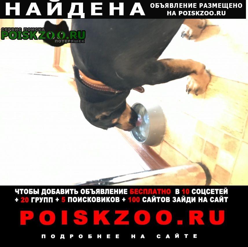 Найдена собака кобель такса Саранск