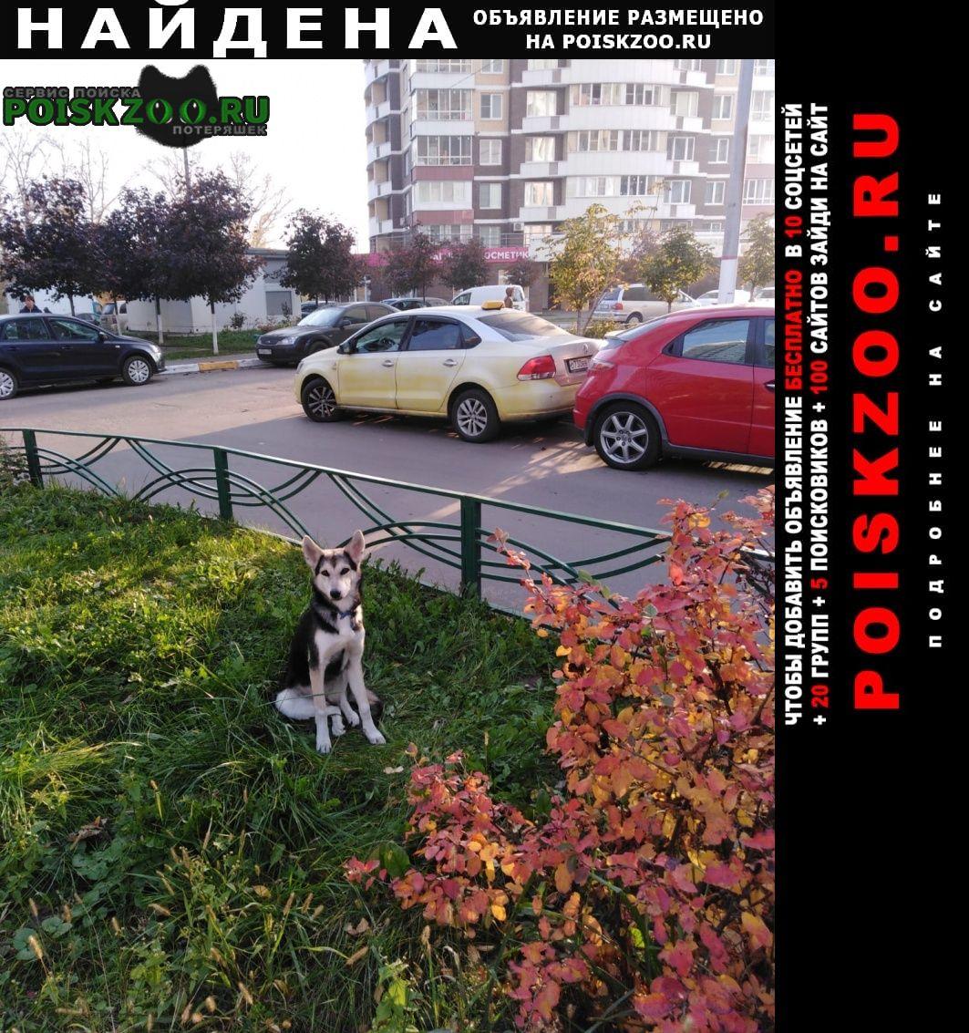 Найдена собака похожа на хаски, д. островцы Октябрьский (Московская обл.)