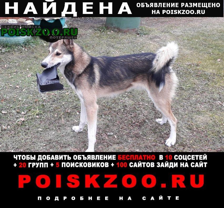 Найдена собака кобель лайка Нижний Тагил