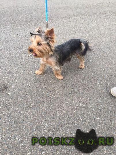 Найдена собака йоркширский терьер, девочка г.Владивосток