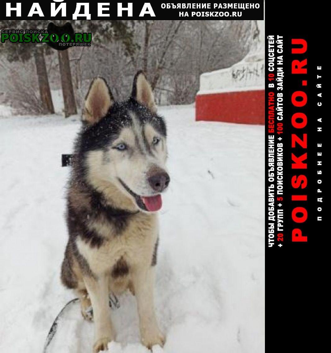 Найдена собака молодой кобель хаски 1 января Долгопрудный