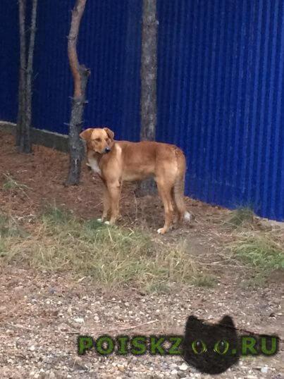 Найдена собака кобель молодой парода гончая г.Большое Козино