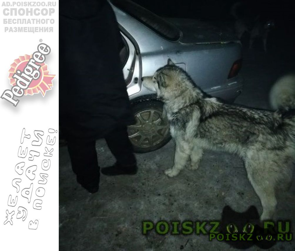 Найдена собака кобель маламут, г.Чита