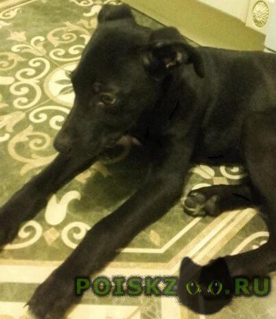 Найдена собака кобель щенок  г.Воскресенск