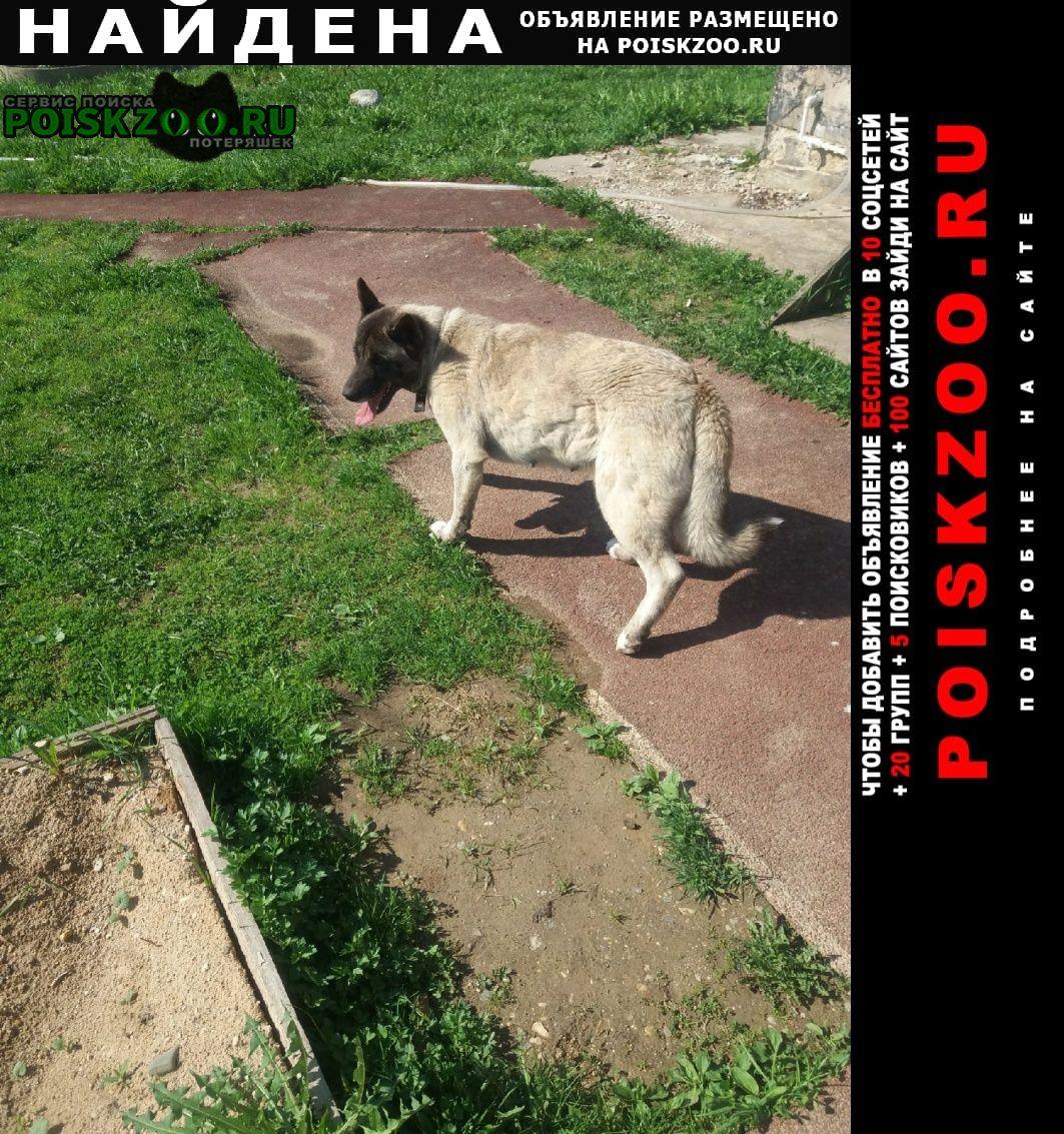 Найдена собака похожа на американскую акиту, девочка. Вологда