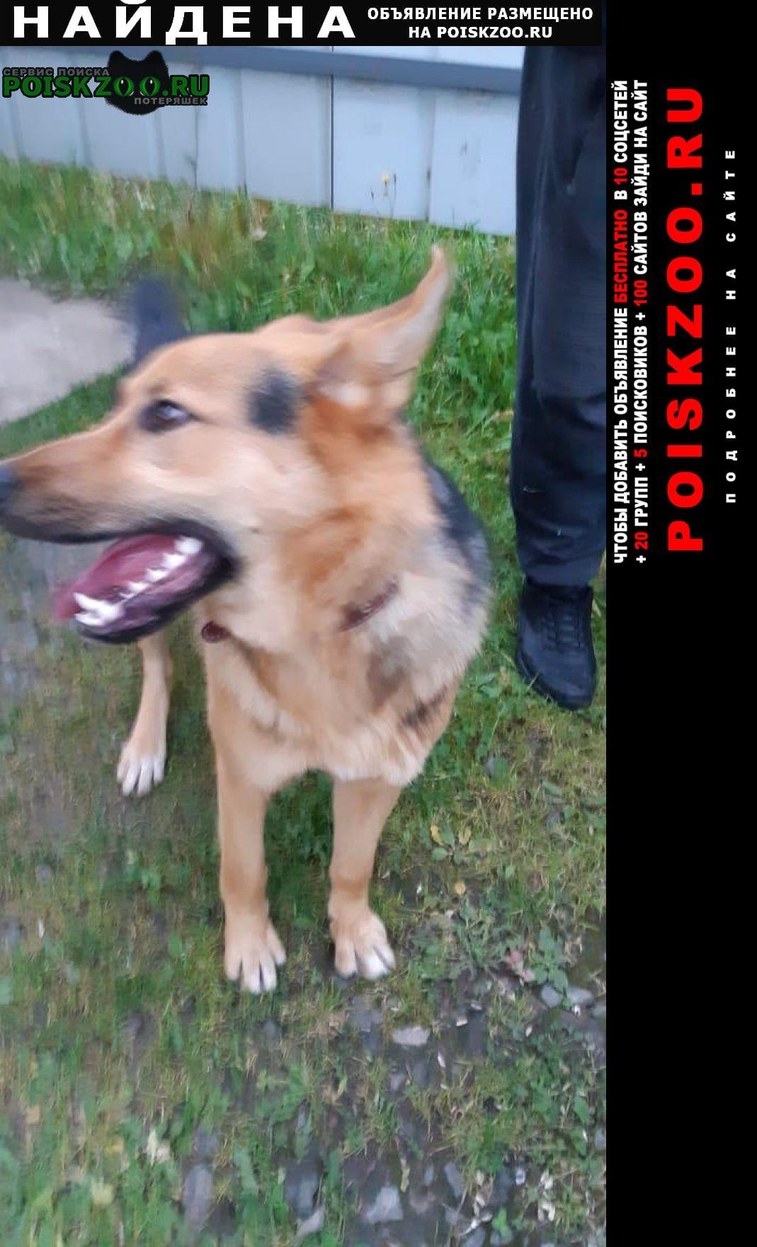 Найдена собака овчарка Чехов