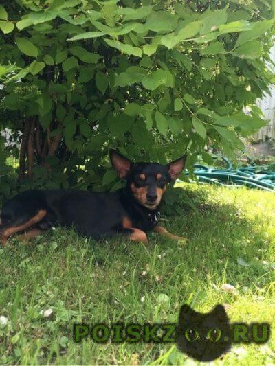 Найдена собака кобель карликовый пинчер г.Москва